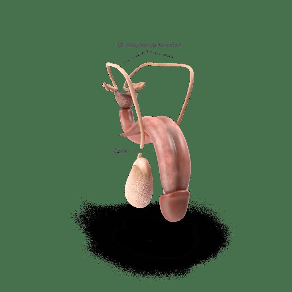 Ejemplo de vasectomía